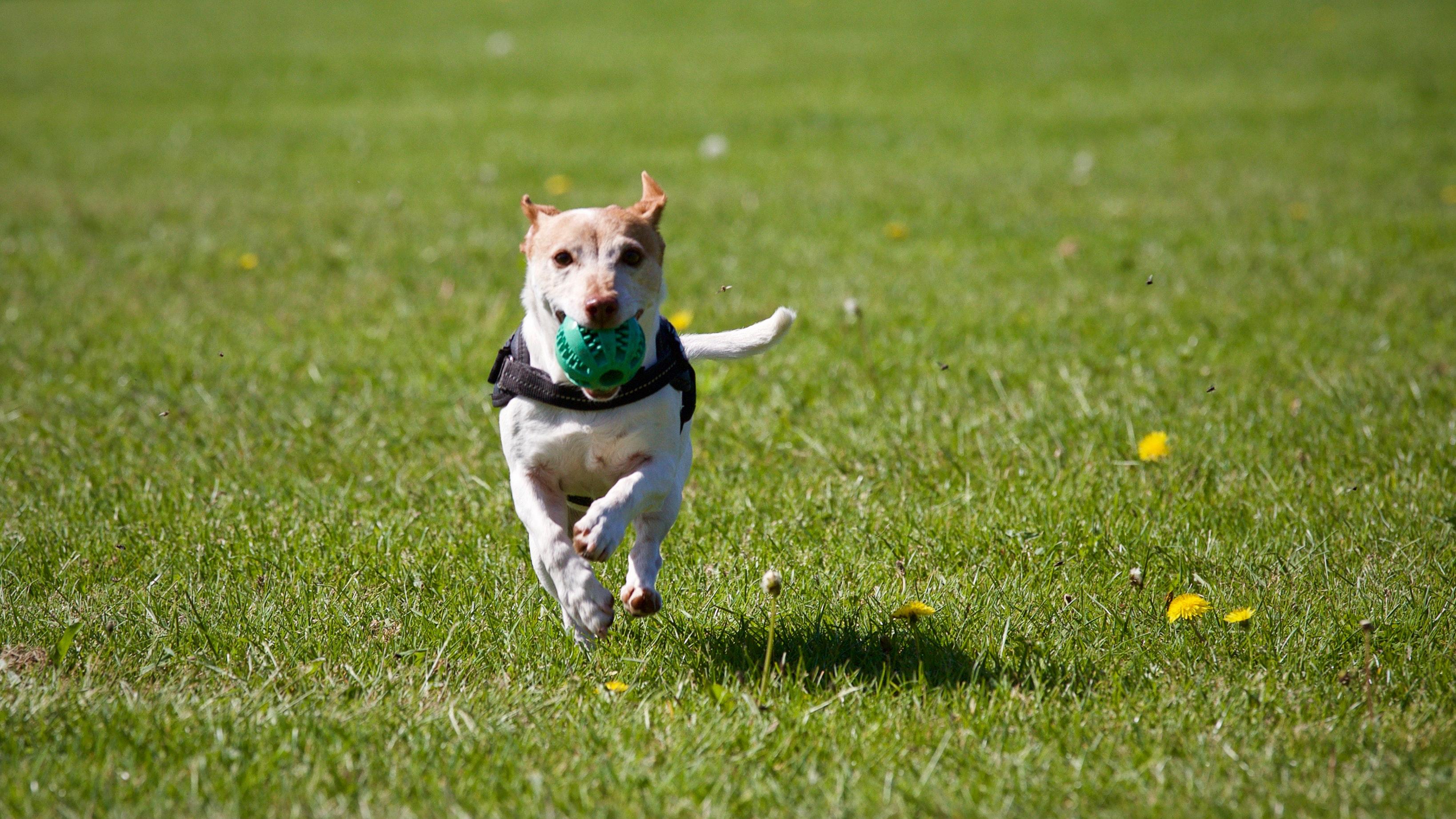 Dog fetch in park