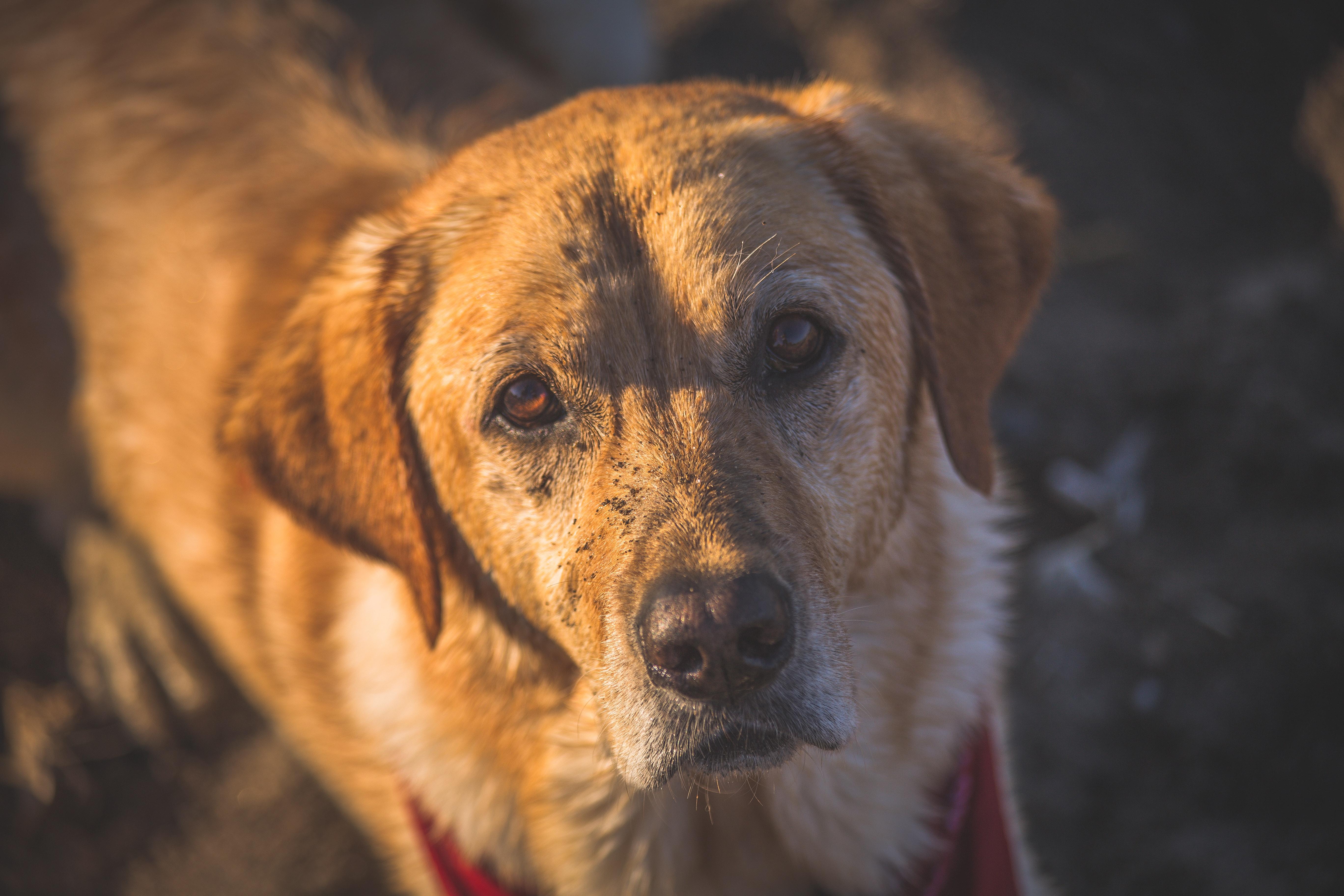 Golden Labrador, muddy face